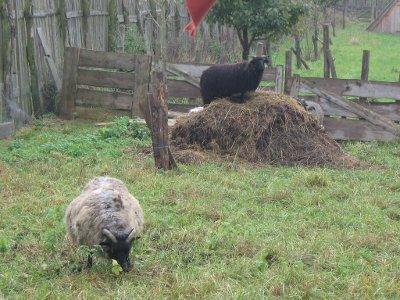 Schaf auf dem Mist
